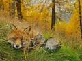 Лиса, национальный парк Парадизо, Италия