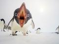 Нападение пингвинов, Антарктида